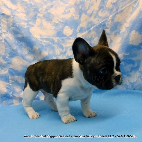 Male French Bulldog