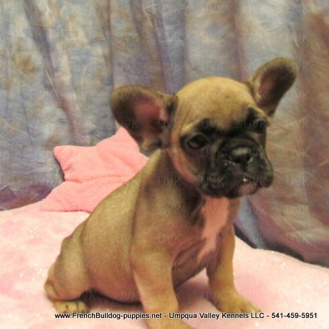 Female French Bulldog